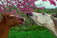 Two horses eating flowers of redbud tree in spring, Missouri, USA