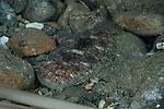 Carpet sole - Liachirus melanospilus