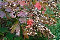 Hydrangea quercifolia in autumn color and flowers | Oakleaf Hydrangea