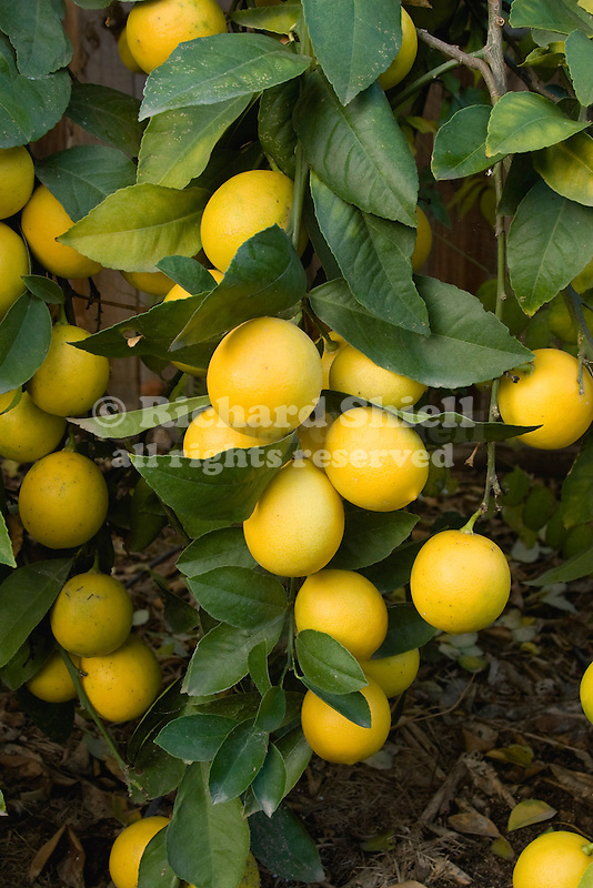 MEYER IMPROVED LEMON, CITRUS HYBRID, DWARF