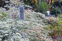 Eriogonum giganteum (St. Catherine's Lace) with Pachycereus pringei (Cardon Cactus) in Bancroft Garden