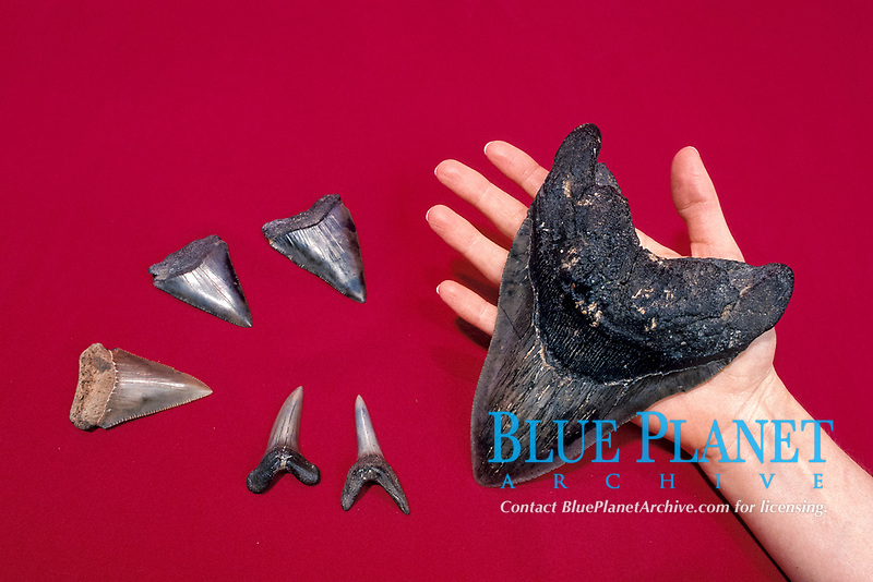 largest shark tooth fossil is 7 inches from megalodon, Carcharocles megalodon, an extinct species of shark, other teeth are of great white shark, Carcharocles carcharias,