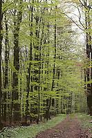 Waldweg, Weg, Buchenwald, Hochwald aus Rotbuche, Rot-Buche, Buche, Fagus sylvatica, Common Beech, Europaen Beech, Fayard, Hêtre commun
