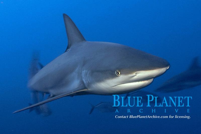 Caribbean reef shark, Carcharhinus perezii, in the Bahamas, Caribbean Sea, Atlantic Ocean