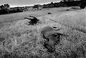 Maya, Kosovo <br /> 1999<br /> <br /> Livestock throughout the country lies dead and rotting away from random killings by Serbian military gunmen.