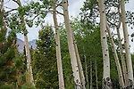 aspen trunks  on an afternoon in the Rocky Mountains along the Peak to Peak Scenic and Historic Byway near Estes Park, Colorado, USA