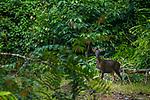 Sambar (Cervus unicolor) male in tropical rainforest, Tabin Wildlife Reserve, Sabah, Borneo, Malaysia