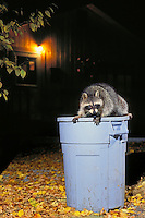 Raccoon raiding household garbage..Autumn. North America..(Procyon lotor).