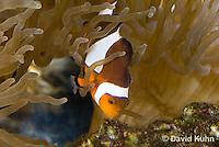 0321-1116  False Percula Clownfish (Ocellaris Clownfish), Amphiprion ocellaris, with Bulb-tipped Anemone, Entacmaea quadricolor  © David Kuhn/Dwight Kuhn Photography