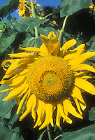 Large Sunflower head Helianthus annuus in bloom in summer