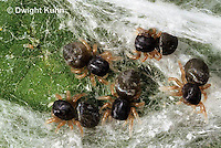 JS01-123x  Jumping Spider - young spiderlings in nest -  Phidippus clarus