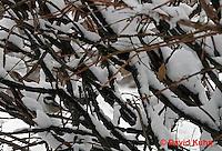 "1229-07qq  Camouflaged Black-capped Chickadee ""In Winter on Bush"" - Parus atricapillus © David Kuhn"