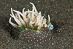 Anemone shrimp (Periclimenes magnificus)