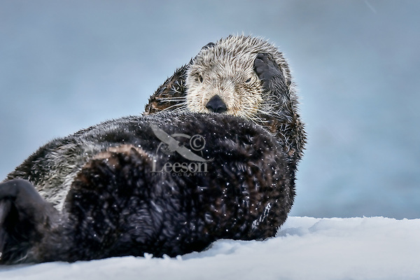 Adult Sea Otter (Enhydra lutris) grooming while resting on snow covered boat dock,  Prince William Sound, Alaska.