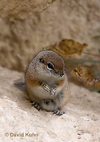 1117-0804  White-tailed Antelope Ground Squirrel, Ammospermophilus leucurus © David Kuhn/Dwight Kuhn Photography