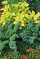 Begonia Million Kisses Romance with kale Winterbor, Solenostemon Pineapple Queen, ornamental pot, in garden use of annuals and vegetables, foliage and flowers