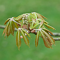 New young leaves and flower buds of painted buckeye (Aesculus sylvatica), late March.
