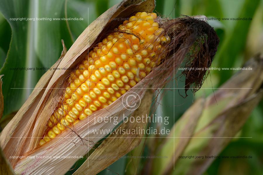 Austria Styria, cultivation of maize for Biogas or animal fodder / Oesterreich Steiermark, Anbau von Mais fuer Biogas oder Tierfutter, Detail Maiskolben