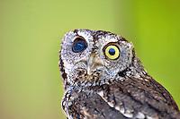 Western Screech Owl with one blind eye. Oregon High Desert Museum.