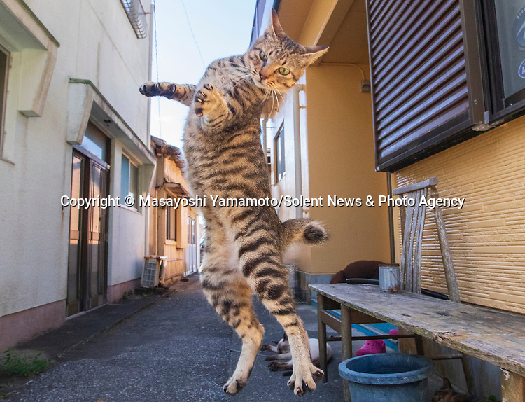 Leaping cats are pictured in hilarious poses as they play with a photographer.  The excitable felines spring up in the air with their arms outstretched as they try and play with a toy.<br /> <br /> 41 year old Japanese photographer Masayoshi Yamamoto travels around his home country taking pictures of stray cats in these unusual poses.  SEE OUR COPY FOR DETAILS.<br /> <br /> Please byline: Masayoshi Yamamoto/Solent News<br /> <br /> © Masayoshi Yamamoto/Solent News & Photo Agency<br /> UK +44 (0) 2380 458800