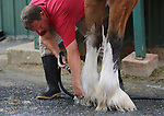 May 16, 2015: Budweiser Clydesdales from Merrimack, New Hampshire, are at Pimlico for Preakness weekend. They were paraded on the track on Black-Eyed Susan day and will be again on Preakness day if weather permits. Larry Manypenny tends to the legs of Chuck. Preakness Day scene at Pimlico Race Course in Baltimore, PA. Joan Fairman Kanes/ESW/CSM