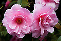 Camellia x williamsii 'Donation' (japonica x saluenensis), late March.