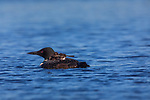 Common loon with chicks on Day Lake in northern Wisconsin.