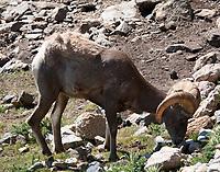 Big Horn sheep ram licking salt