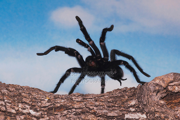 Texas Brown Tarantula (Aphonopelma hentzi), adult in defense posture, Sinton, Corpus Christi, Coastal Bend, Texas, USA