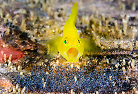 Yellow Goby, Lubricogobius exiguous, guarding its eggs, Anilao, Philippines, Pacific Ocean