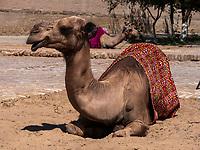 Kamel in Xiva, Usbekistan, Asien<br /> camel in historic city Ichan Qala, Chiwa, Uzbekistan, Asia