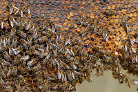 Honigbiene, Honig-Biene, Honigbienen, Biene, Bienen auf ihren Waben, Imkerei, Imker, Apis mellifera, honey bee, hive bee
