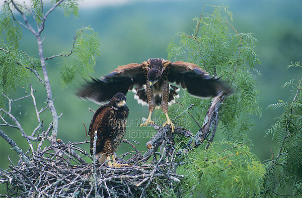 Harris's Hawk, Parabuteo unicinctus,young in nest in Mesquite tree testing wings ca. 5 weeks old, Willacy County, Rio Grande Valley, Texas, USA, May 2004