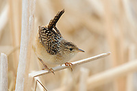 Adult Sedge Wren (Cistothorus platensis) vocalizing. Alberta Canada. May.