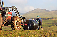 Andy Mitchell feeding big bale silage to his Mule ewes on Cockan Farm, Kirkland, Frizington, Cumbria. Silage has been fed since Christmas and concentrates for the last 2 weeks ready for the start of lambing on March 1st.