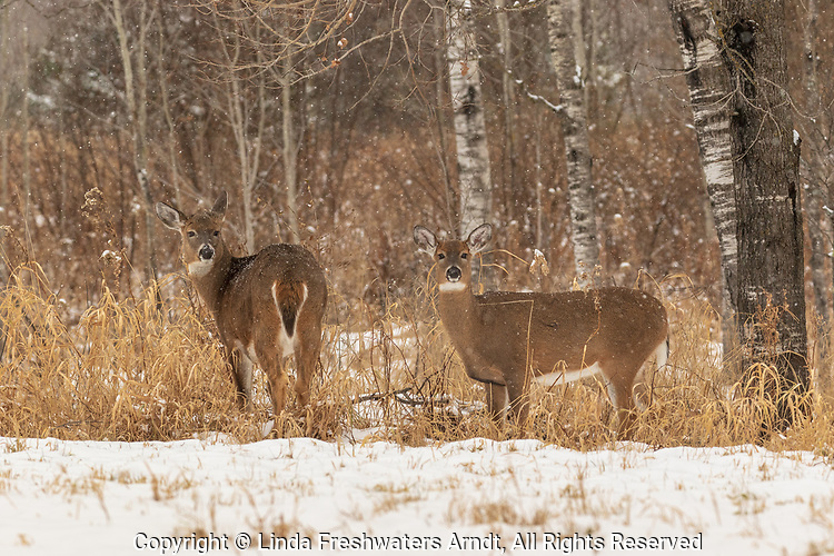 White-tailed does standing at the edge of a northern Wisconsin woodland.