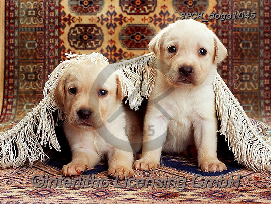 Xavier, ANIMALS, REALISTISCHE TIERE, ANIMALES REALISTICOS, dogs, photos+++++,SPCHDOGS1045,#a#, EVERYDAY