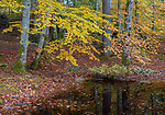 Western Highlands, Scotland:<br /> Fall colors of the beech forest understory pond above the river Moriston, Invermoriston