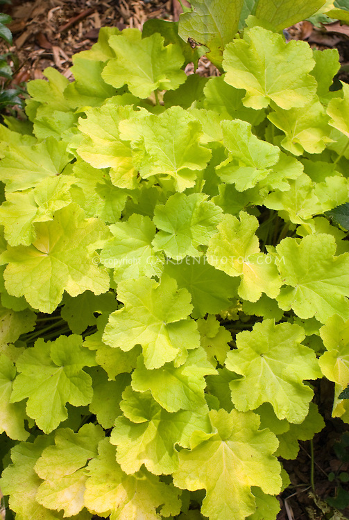 Heuchera Citronelle entire plant foliage leaves