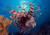 Lionfish, Pterois volitans, Indonesia.