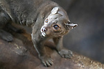 The catlike Fossa, is a carnivore from Madagascar that is a relative of the mongoose. Its status on the ICUN scale is vulnerable.
