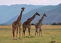 African, wild animal. Three giraffes on plain near Lake Manyara, Tanzania. Lake Manyara, Tanzania Lake Manyara.