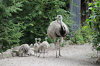 Nandu mit Nachwuchs - Jaderberg 21.07.2020: Tier- und Freizeitpark Jaderpark