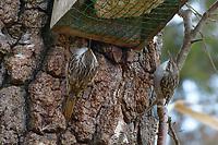 Wald-Baumläufer, Waldbaumläufer, Baumläufer, an der Vogelfütterung, Winterfütterung, Certhia familiaris, Eurasian treecreeper, common treecreeper, treecreeper, Le Grimpereau des bois, Le Grimpereau familier