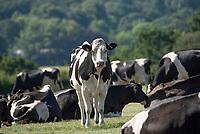 Holstein dairy cows, Grimsargh, Preston, Lancashire