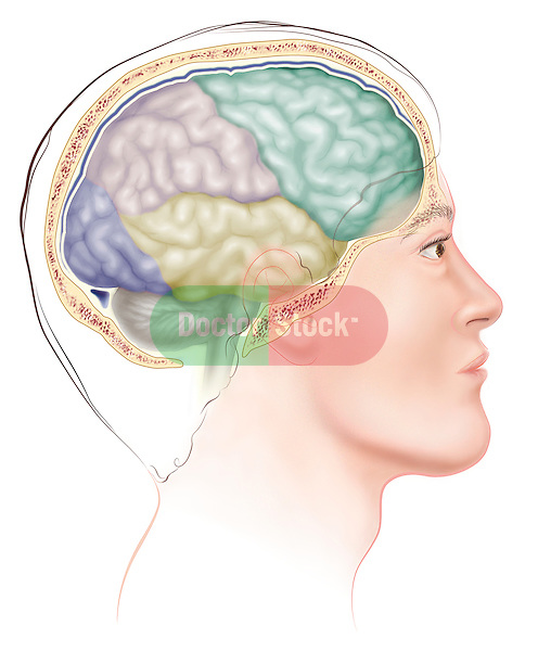 Illustration of man with brain from side