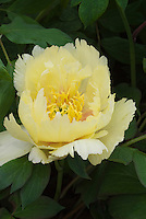 Peonies Paeonia x Oriental Gold  intersectional hybrid peony yellow flowers