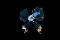 Snaketooth fish or Swallower, Chiasmodontidae,  a deep-sea percomorph fish, photographed at 30 foot depth with the bottom more than 600 feet below during a blackwater dive.  Palm Beach, Florida, USA. Atlantic Ocean