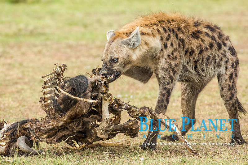 spotted hyena, Crocuta crocuta, consuming blue wildebeest carcass, Connochaetes taurinus, Kenya, They hyena has strong jaws that allow it to break carcass bones and eat the marrow within.