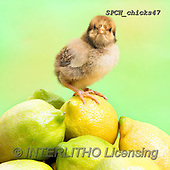 Xavier, EASTER, OSTERN, PASCUA, photos+++++,SPCHCHICKS47,#e#, EVERYDAY ,chicken